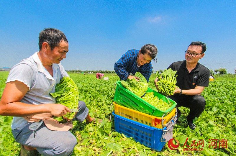 河南南阳:扶贫蔬菜采摘忙