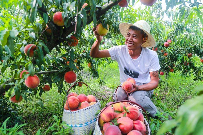 河南光山: 黄金蜜黄桃喜获丰收