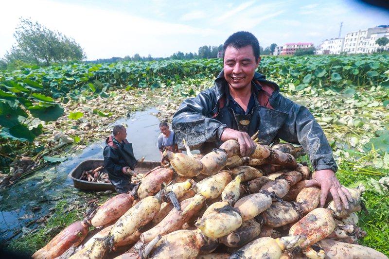 河南光山:莲藕喜丰收 农民笑开颜