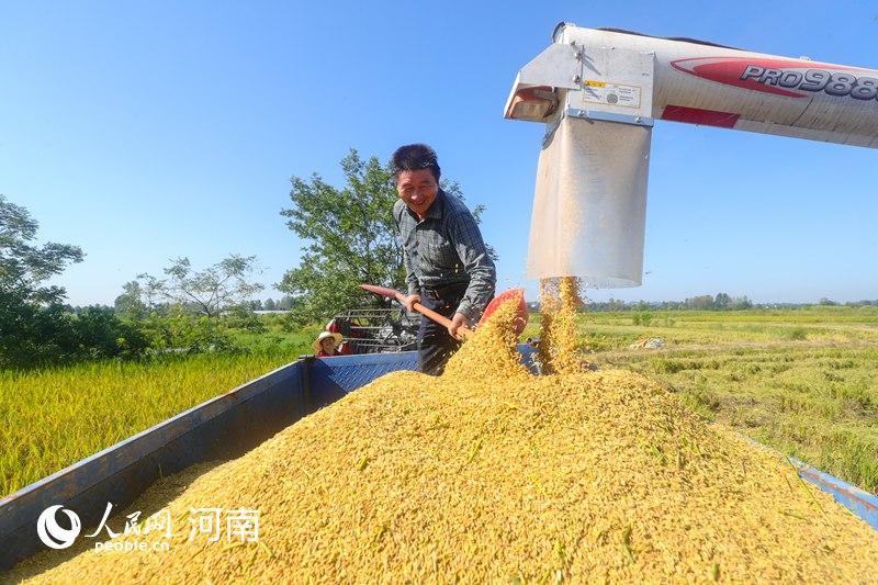 好消息!河南光山:再生水稻喜丰收