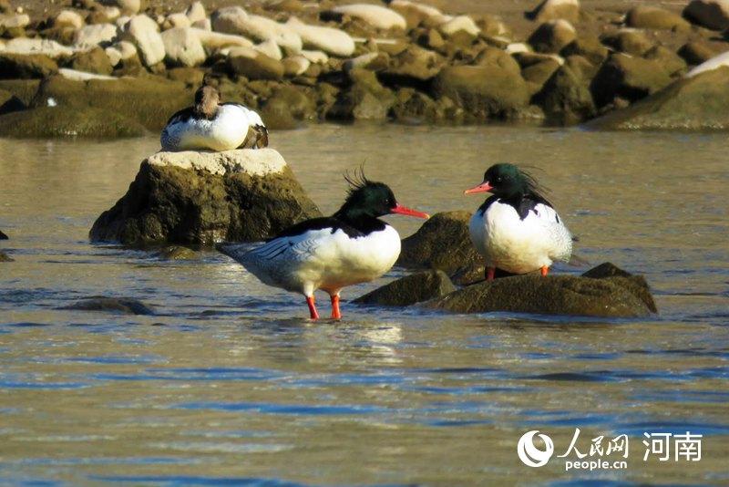 河南嵩县:河湖清明引中华秋沙鸭