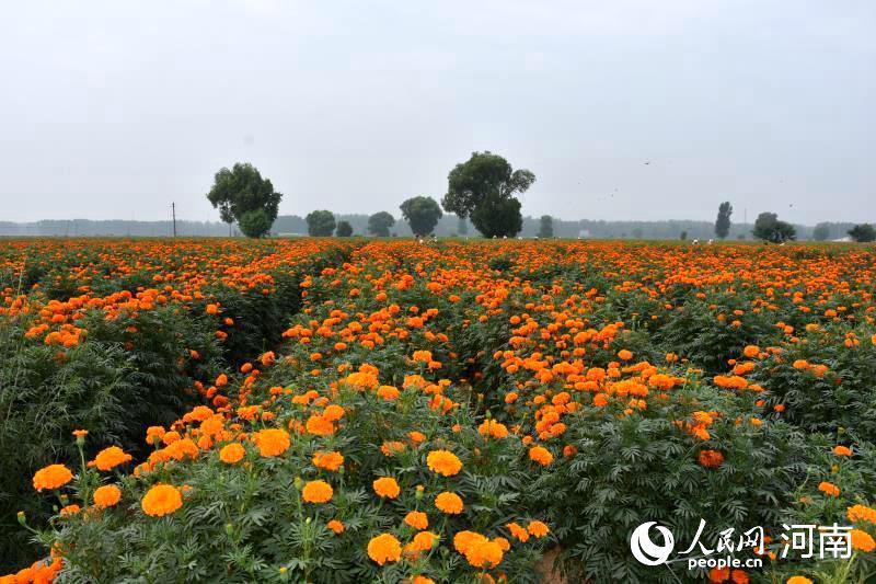 河南开封:黄河岸边看小康 扶贫圆了致富梦