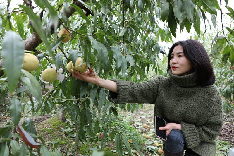 信阳浉河区:冬桃甜透了致富路