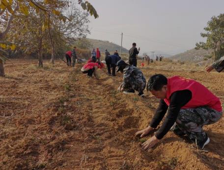 200余名党员干部齐上阵 种植冬凌草