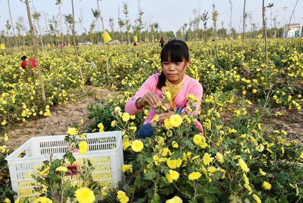 河南孟州:河阳冰菊俏 农民致富忙