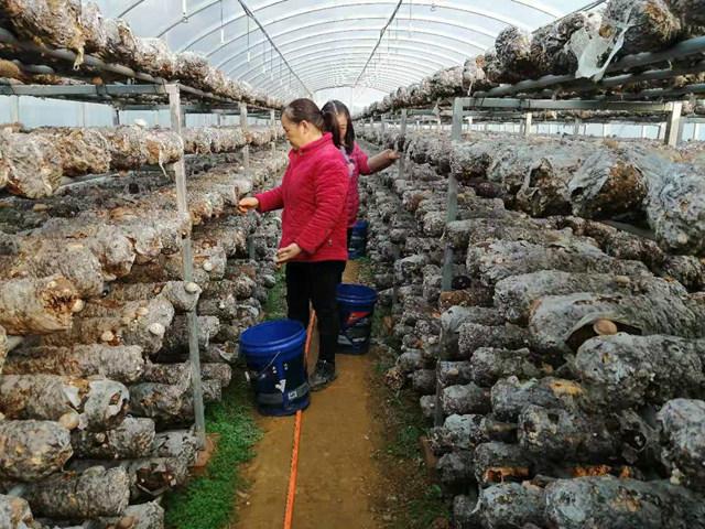 """鲁山县:小小香菇成了群众致富的""""保护伞"""""""