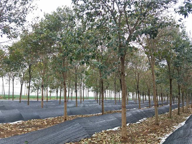 郏县开辟生态廊道林下种植新模式