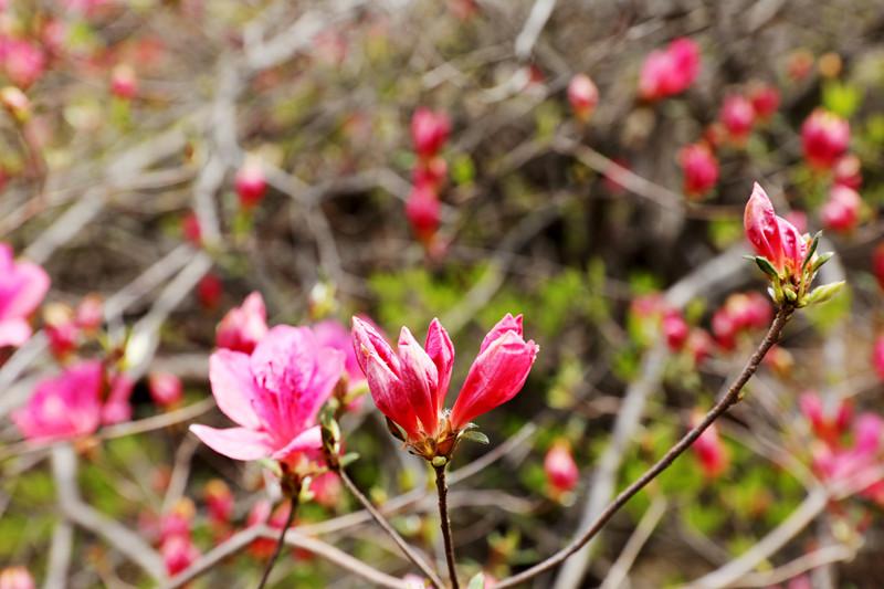漫山遍野的杜鹃树随风摇曳,含苞待放的花蕾挂满枝头。宋新杰摄