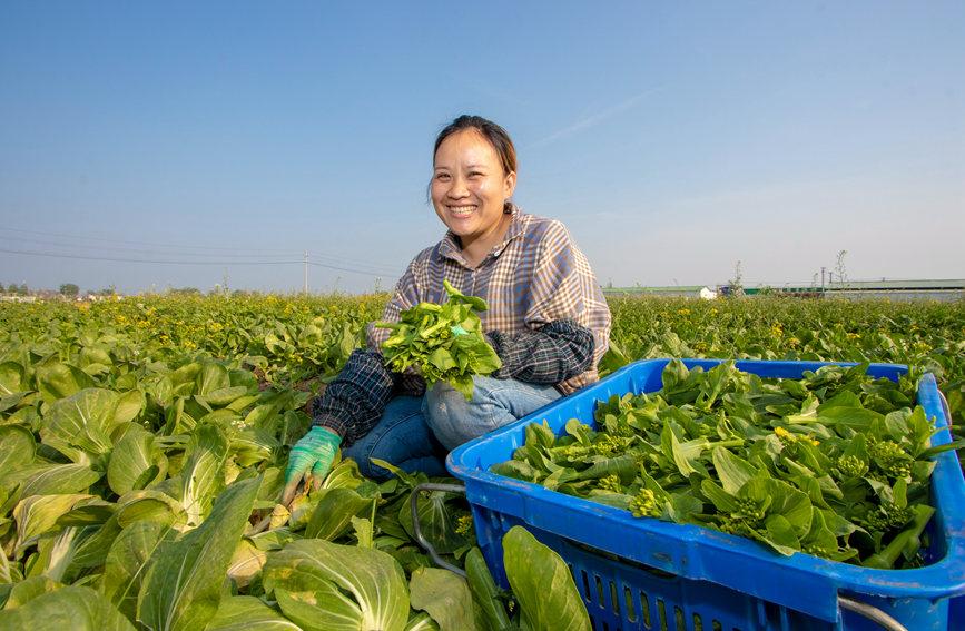 工人忙着采摘新鲜的蔬菜。何志远摄