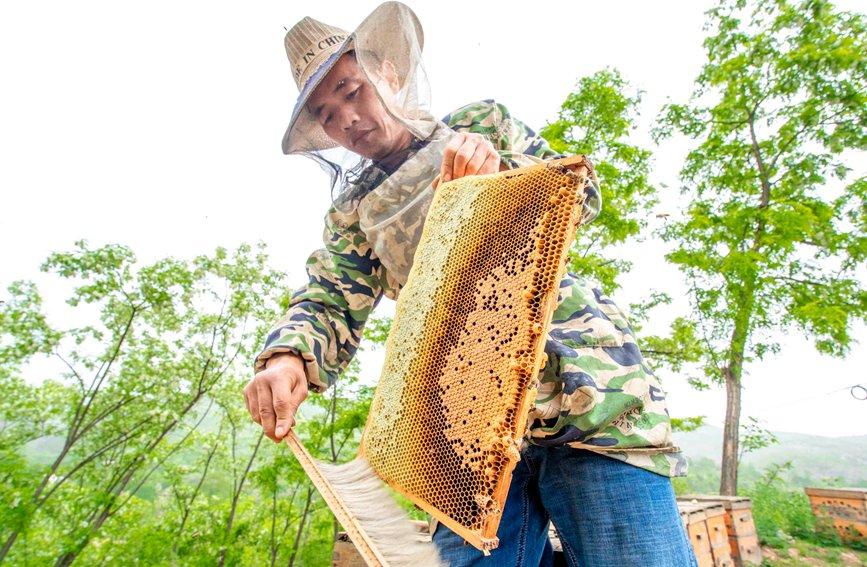 农正在采收蜂蜜。聂金锋摄