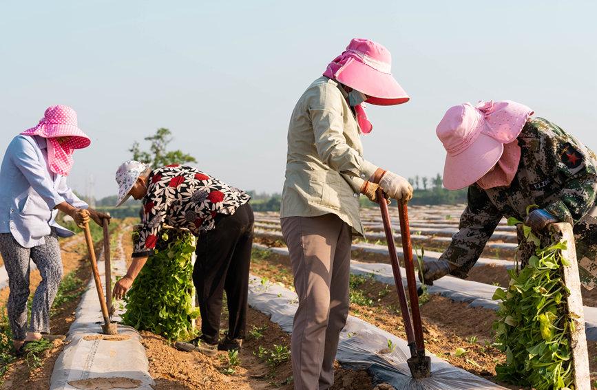 忙碌耕作的烟农。翟继业摄