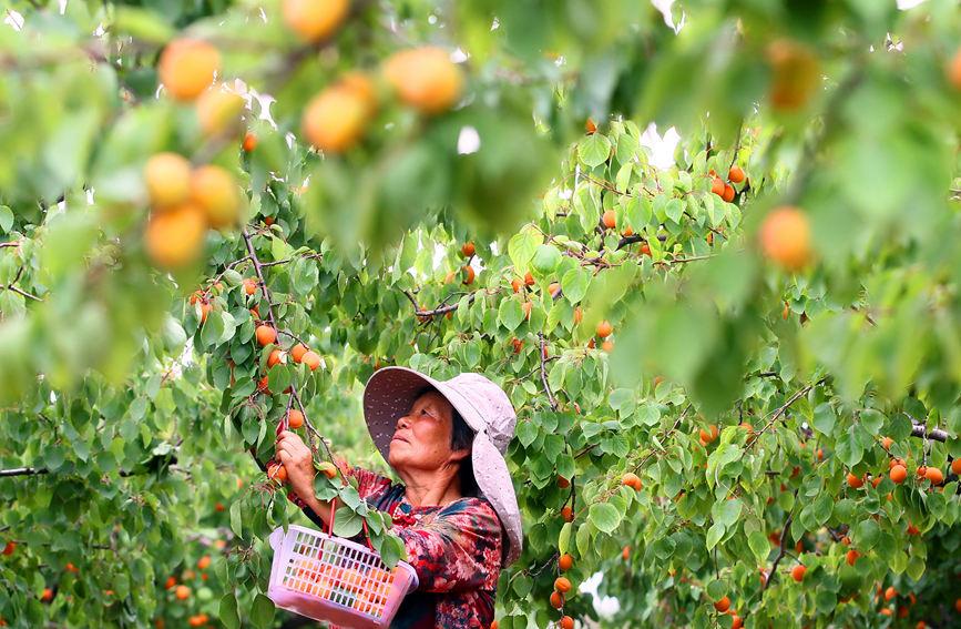 """在郏县安良镇高楼村北的马头岭现代农业产业园里,村民在采摘成熟的""""凯特""""品种杏。李英平摄"""