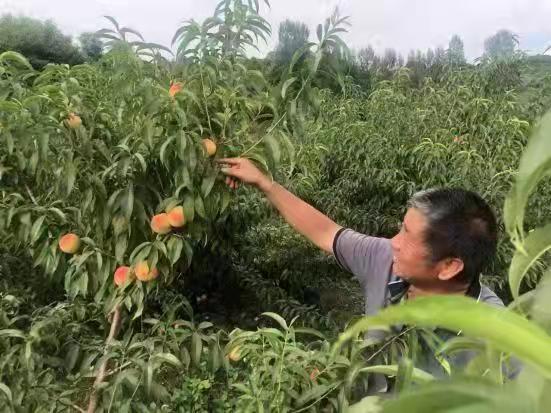 鲁山县寺前村:俺家的黄桃熟了