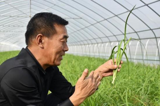 """河南农民种植""""太空韭菜""""销路广"""