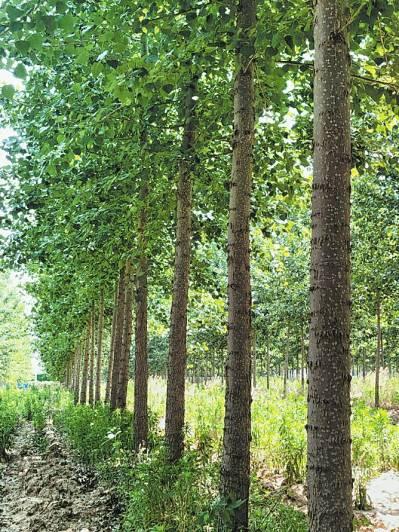 春来不飞絮 防护作用强 河南省培育出无絮杨树新品种